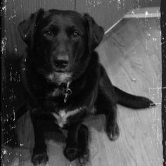 50 Best Lab Blue Heeler Mix Images On Pinterest Puppys Black Lab