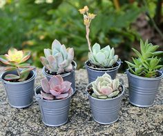 Succulents are hardy and can go for long periods without water, which make them a fabulous living option for your wedding favors!