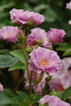 Floribunda Rose: Rosa 'Paper Moon' (Japan, c.2004)