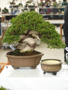 juniper Bonsai Garden, Bonsai Trees, Mame Bonsai, Juniper Bonsai, Cactus, Tree Designs, Planter Pots, Landscape, Gardening