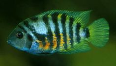 Female convict cichlid.  Females are more colorful than males, but males have longer finnage.