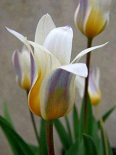 Необычный тюльпан