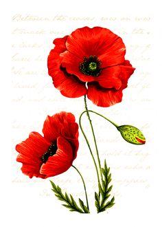 Watercolor Flowers, Watercolor Paintings, Flower Art, Poppy Flower Painting, Poppies Painting, Flower Images, Flower Photos, Red Poppies, Poppies Art
