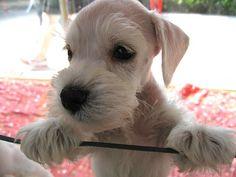 Aww this is such a darling little mini Schnauzer puppy, so so cute!!