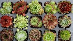 Succulent Bonsai, Succulent Gardening, Planting Succulents, Garden Plants, Planting Flowers, Gardening Tips, Flowering Plants, Echeveria, Spanish Garden