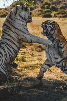 African TigersTerritorial fight between two tigresses at Tiger Canyons, South Africaby Alex Kirichko