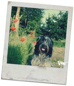 Schapendoes Guusje - Dutch Sheepdog Polaroid