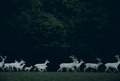Cerfs blancs