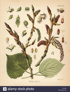 Chromolithograph after a botanical illustration by Walther Muller from Hermann Adolph Koehler's Medicinal Plants, edited by Gustav Pabst Vintage Abbildungen, Vintage Artwork, Herbs For Sleep, Poplar Tree, Photo Black, Medicinal Plants, Poster Size Prints, Nature, Plant Leaves