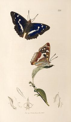John Curtis -- Apatura iris -- John Curtis -- Artists -- RHS Prints