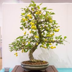 Pin On Bonsai Fruit