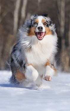 Australian Shepherd dog - Photograph Pacco by Anne Geier*