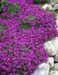 "Tarharistikki - Aubrieta x cultorum ""Cascade Red""/ Viherpeukalot Purple Garden, Modern Barn, Flower Designs, Red Green, Different Colors, Bouquet, Flowers, Wedding, Gardening"