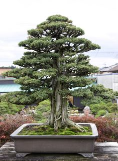 Jun 2018 - Today we only had two stops to visit bonsai gardens, but they were significant and quite a bit of time was necessary to view and study all the numerous details, which make each one unique. Our firs… Bonsai Tree Care, Bonsai Tree Types, Indoor Bonsai Tree, Bonsai Plants, Bonsai Garden, Bonsai Trees, Indoor Flowers, Indoor Plants, Terrariums Diy
