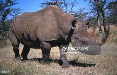 Stockfoto : A Black Rhino (Diceros bicornis) bull, Chizarira National Park, Matabeleland North, Zimbabwe, Africa Zimbabwe Africa, East Africa, Elephant, Animals, Black, Animales, Animaux, Black People, Elephants
