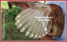 Flight feathers in an adult chicken. Excellent video and article about clipping chicken wings.