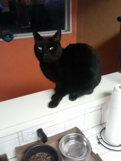 Midnite is a big awesome boy! He is 1-2 years old and is just so handsome! He has gorgeous sleek black hair and a very cute face! Midnite gets along well with other cats and seems to do fine with dogs too. Midnite is curious and friendly and likes...