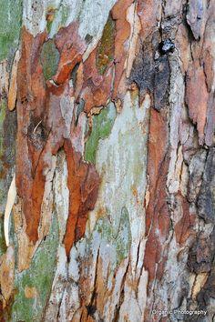 Bark of Eucalyptus