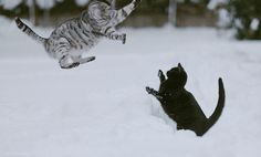 Calvin & Hobbes...kitty edition