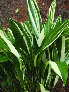 Aspidistra elatior 'Okame'|Juniper Level Botanic Gdn, NC|