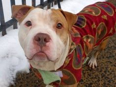TO BE DESTROYED SAT, 2/8/14  Manhattan Ctr JET  A0990797 Male tn/wht pit mix 3 YRS old. Likely house trained.His tail wags as we walk, exploring his new surroundings curiously. Carefully takes treats. A gentle, calm demeanor. affectionate, happy to cuddle. Greets visiting dogs w/ a happy wag of his tail. Some food guarding-common w/ strays, retrainable! Unassuming, calm, easy and is looking for a new home in which to curl up and cuddle. Inside his smallish frame beats a big loving heart.
