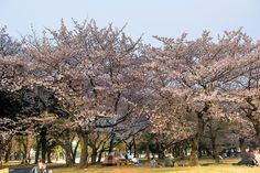 Night Time Cherry Blossoms at Yoyogi Park, Japan | Flickr - Photo Sharing!