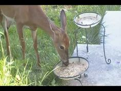 At My Bird Feeder:The Deer Is Back!