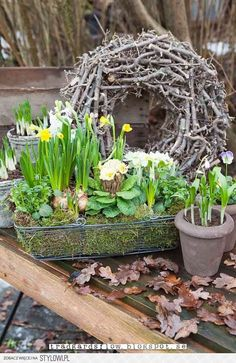 Spring bulbs interspersed with Viola and Polyanthus plants grown in Vintage tubs., bulbs interspersed with Viola and Polyanthus plants grown in Vintage tubs with a twig wreath. Spring Plants, Spring Bulbs, Spring Garden, Spring Flowers, Container Gardening, Gardening Tips, Twig Wreath, Arte Floral, Garden Inspiration