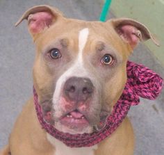 LEYLA - A1065609 - - Manhattan  Please Share:   TO BE DESTROYED 03/14/16**NEW HOPE ONLY** Leyla has the most expressive eyes…She's a 50-pound pit bull mix of about 2-years old. Leyla was brought into the shelter when she got into a fight with another small dog in her home. The thing is that Leyla has lived with the other dog for a year, so it's hard to know what caused the altercation. The other dog got her licks in too as Leyla has cuts on her body and on both ea