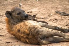 It's no secret that the hyena has a pretty bad reputation. What's more, there is a lot of confusion surrounding whether they are of the dog or cat family. So we are here to iron out some of these tales! Private Safari, Safari Holidays, Lion Pride, Wild Dogs, Hyena, Leopards, African Safari, Travel Deals, Confusion