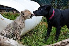 Savanah, the one-and-a-half-year-old cheetah and Max, who is just a few weeks younger, were put together when Savanah was just 10-weeks-old. Ever since, their friendship has amazed visitors at Cincinatti Zoo, who are delighted but confused as to why the spotted beast hasnt eaten the dashing hound. So, when it snowed, Savanah and Max just like young children were very excitable and wasted no time playing in the snow. (Photo by Caters News Agency)