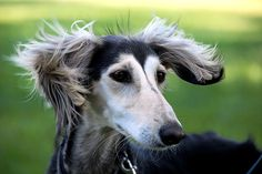 Dog on a windy day. Cool.    wind dog by Dan65, via Flickr
