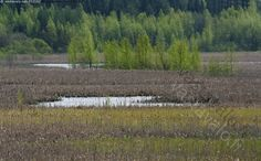 Kevät - kevät lampi lintulampi umpeenkasvava puut koivut lehdessä sulapaikat heinikko osmankäämit