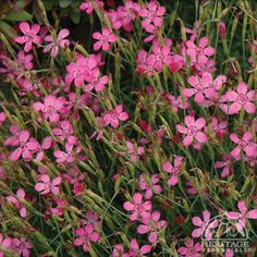 65 best maiden pink flower images on pinterest in 2018 plants plants form a low spreading mound of evergreen leaves studded with bright salmon pink flowers in late spring then on and off through mightylinksfo