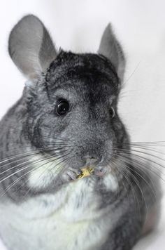 You can make a simple single- or double-layer chinchilla hammock that looks nice in your pet's habitat and gives your chinchilla a comfortable place to rest.
