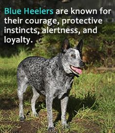 Characteristics of Australian cattle dog or blue heeler #Blueheelers