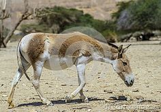 Onager is a wild Asian ass by Gorshkov13, via Dreamstime