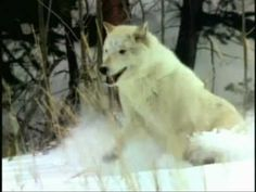 There are two universally recognized species of wolves in the world: the gray wolf and the red wolf. The red wolf was declared extinct in the wild in T. Native American Flute, Irish American, Mexican American, Native American History, Native American Indians, Native Americans, Gray Wolf, White Wolf, Lone Wolf