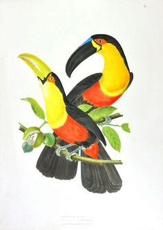 Ornithologie Bresilienne ou Histoire des Oiseaux du Brésil.   See more Animal Prints at http://www.1stdibs.com/art/prints-works-on-paper/animal-prints-works-on-paper on 1stdibs