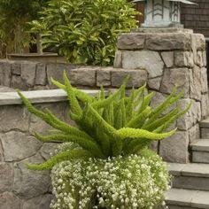 foxtail fern contrast plant