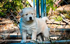 goberian puppy--half golden retriever, half siberian husky. so sweet. look at that face!