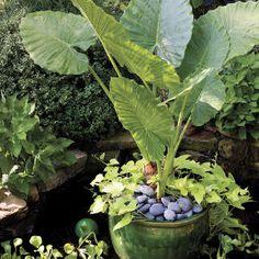 82 Creative Container Gardens | Elephant's Ear & Sweet Potato Vine | SouthernLiving.com  #wm