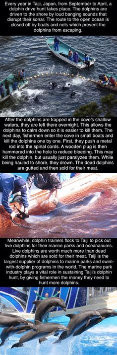Taiji Dolphin Hunt starts September 1st. PLEASE sign petitions to stop the slaughter!