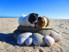 """""""Let's watch the sunset together."""" It's a guinea pig beach date. (Photo by Desirae K.)"""