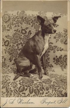 c.1890 cabinet card of obedient terrier sitting on draped furniture. Photo by J.L. Wareham, Freeport, Ill. From bendale collection