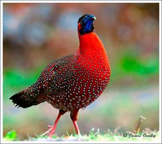 Satyr Tragopan Oh my how colorful we are and how we like to strut:)