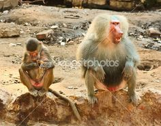 Baboon Monkey chilling in the zoo — Stock Image #53636905 Baboon Monkey chilling in the zoo — Stock Photo © BAphotography #stock #photo http://depositphotos.com/53636905/stock-photo-baboon-monkey-chilling-in-the-zoo.html?ref=2829011?share_source=twitter-53636905 via @depositphotos