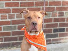 CHASEN - A1096730 - - Brooklyn  Please Share:TO BE DESTROYED 11/21/2016 **PUBLICLY ADOPTABLE** -  Click for info & Current Status: http://nycdogs.urgentpodr.org/chasen-a1096730/