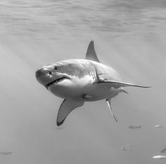 The great white shark!