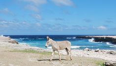 Wild donkey walking near the ocean in Bonaire Caribbean.